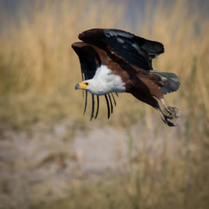 Aigle vocifère en action, photographie Jean-marie Costa, Namibie, Voyage Afrique