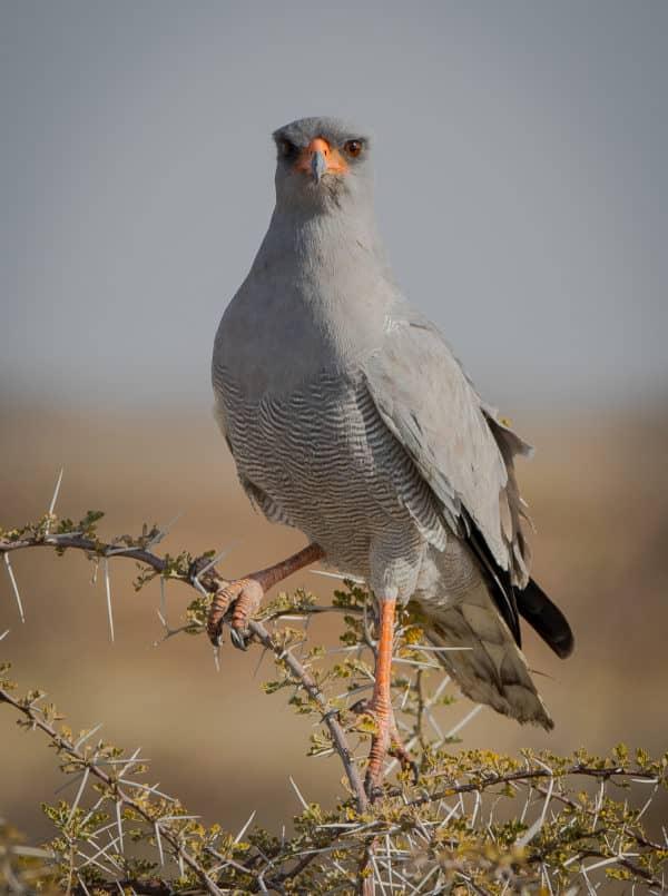 Photographie Jean-marie COSTA, oiseau d'Afrique, autour chanteur pâle, namibie, voyage Afrique