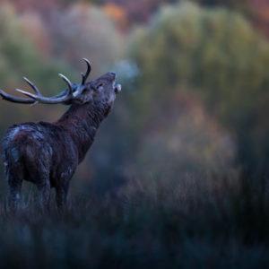 Brame du cerf en Lorraine - photographie animalière