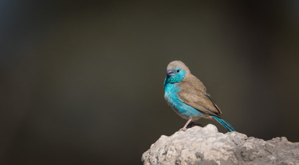 Photographie d'un Astride bleu, oiseau d'Afrique de Namibie.