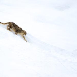 Photogtaphie panthère des neiges en Inde