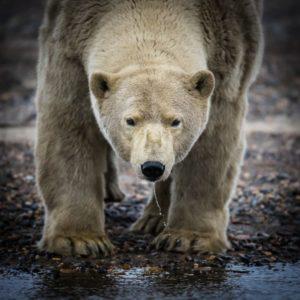 Photographie ours polaires d'Alaska à Kaktovik